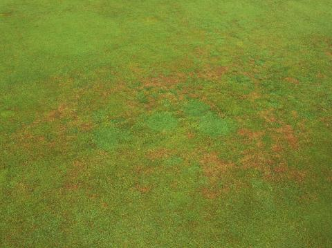 Anthracnose symptoms on a Poa annua green. Notice that the bentgrass plugs are not infected.